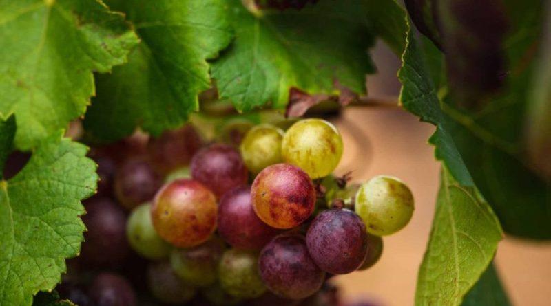 Formentor, Royal Hideaway Hotel pone en marcha la producción de su primer vino