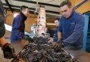 Ribera del Duero vendimia a mano 125 millones de uva de alta calidad